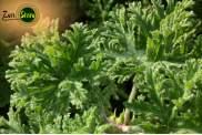 Acqua/Idrolato Geranio Odoroso Biologico